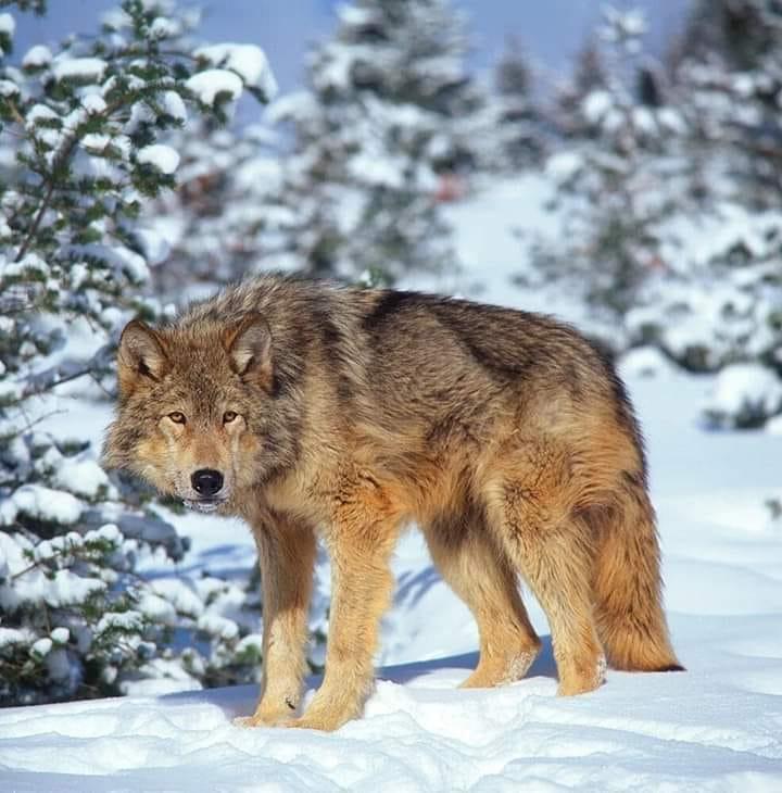Обережно вовки!