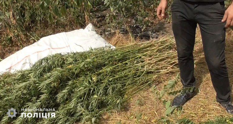 Мешканець Нового Бугу на своїй присадибній ділянці виростив понад 400 кущів конопель